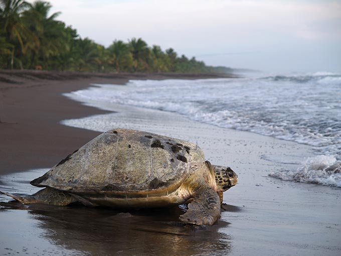 costa-rica-sea-turtle-crawling-from-the-beach-to-the-sea-in-tortuguero-national-park-shutterstock_87540475