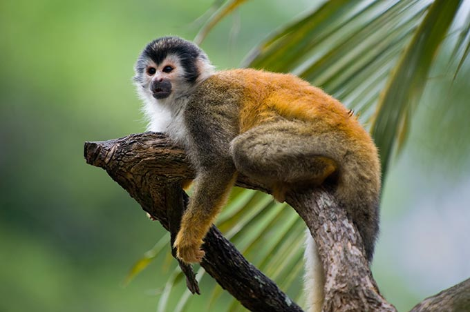costa-rica-squirrel-monkey-in-a-branch-in-manuel-antonio-national-park-shutterstock_60534190