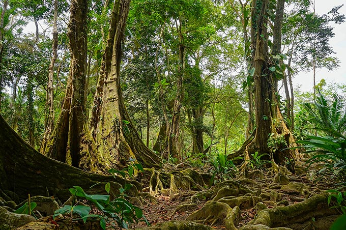 costa-rica-talamanca-tropical-trees-and-roots-in-the-jungle-shutterstock_194584724